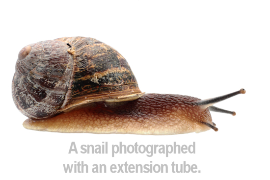 example of a snail taken with an extension tube on a 50mm lens